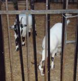 Beale St. goats