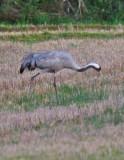 Common Crane - Grus grus