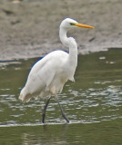 Great White Egret - Ardea alba alba
