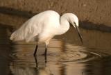 Little Egrets - Egretta garzetta