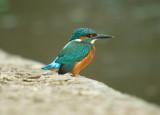 kingfishers_2009
