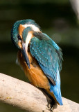 Kingfisher female 18th July 2010