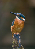 Kingfisher female July 19th 2010