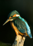 Kingfisher female July 23th, 2010