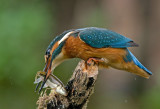 Kingfisher female July 27th, 2010