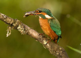 Kingfisher female August 2 2010
