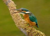 Kingfisher female August 6  2010
