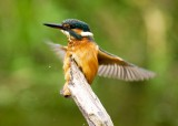 Kingfisher female August 7  2010