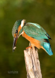 Kingfisher female August 8  2010