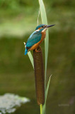 Kingfisher  male August 9  2010
