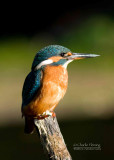 Kingfisher  female August 11  2010