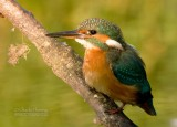 Kingfisher female 16th August 2010