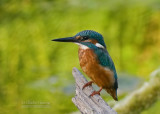 Kingfishers   Juvenile female and male  August 22, 2010