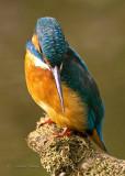 Kingfisher   Juvenile female  27 Sept, 2010
