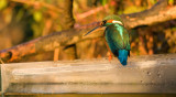 Kingfisher - Alcedo atthis  (juvenile female) 20/21st  October 2010