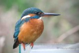 Kingfisher - Alcedo atthis first winter female 28th  October 2010