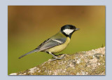 Great Tits - Parus major