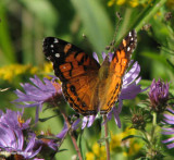 American lady (Vanessa virginiensis) on new england aster