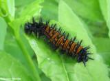 Baltimore checkerspot  (Euphydryas phaeton) larva