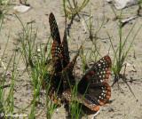 Baltimore checkerspots (Euphydryas phaeton)
