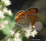 Gossamer-wing butterflies: Coppers, Blues and Hairstreaks (Lycaenidae)
