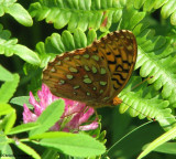 Great spangled fritillary (Speyeria cybele) on red clover