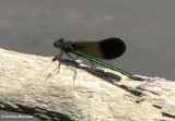River jewelwing (Calopteryx aequabilis), male