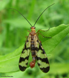 Scorpion fly (Panorpa sp.), male,  a scorpion mimic