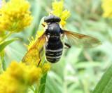 Hover fly (Sericomyia militaris) a wasp mimic