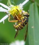 Hover fly (Spilomyia longicornis), a mimic of yellowjackets
