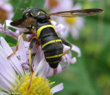 Hover fly (Spilomyia sayi), a vespid mimic
