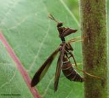 Brown mantidfly (Climaciella brunnea), a mimic of vespid wasps