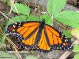 Monarch (Danaus plexippus)  male
