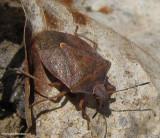 Stinkbug (Pentatomidae)