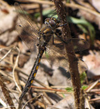 Beaverpond baskettail  (Epitheca canis)