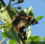 Snout Butterflies (Family: Nymphalidae, Subfamily: Libytheinae)