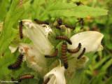Baltimore checkerspot larvae (Euphydryas phaeton) on turtlehead