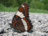 Viceroys and White Admirals (Family: Nymphalidae, Subfamily: Limenitidinae)