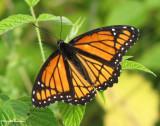 Viceroy (Limenitis archippus), Monarch mimic