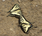 Canadian tiger swallowtails  (Papillio canadensis)