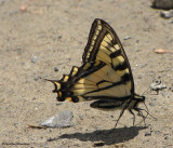 Canadian tiger swallowtail (Papillio canadensis)