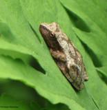 Spring peeper  (Hyla crucifer)