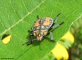 Stinkbug nymph (Apoecilus?)