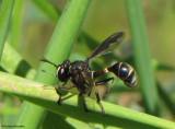 Thick-headed fly  (Physocephala sp.), a wasp mimic