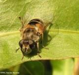 Hover fly, prob.  (Eristalis arbustorum), a bee mimic