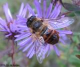 Hover fly (Eristalis tenax)  bee mimic
