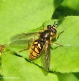 Hover fly (Somula decora), a wasp mimic