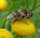 Hover fly (Eristalis  sp.) , a bee mimic