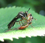 Robber fly (Asilidae) with prey