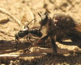 Robber fly (Proctacanthus sp.) with wasp